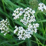 yarrow herb